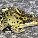 Leptodactylus ocellatus (rana criolla)