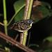 Spot-backed Antbird, Shaime, Ecuador