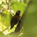 Hairy-crested Antbird, Shaime, Ecuador
