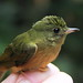 McConnell's flycatcher - Mionectes macconnelli