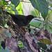 "Blackish Antbird ""Cercomacra nigrescens"""