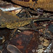 Anolis nitens nitens (Yellow-tongued Forest Anole)