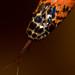 Oxyrhopus rhombifer