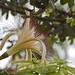 Pachira aquatica Aubl. - Flor en posición lateral, con pétalos largos amarillos y numerosos estambres