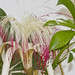 Pachira aquatica Aubl. - Detalle de flor y hoja palmaticompuestas con 7 folíolos