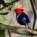 Dançador-de-crista (Pipra cornuta) - Scarlet-horned Manakin - Photo: Thiago Laranjeiras