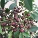 Botânica - Fagara rhoifolia - mamica-de-cadela