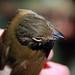 Cinnamon-crested Spadebill crown - Platyrinchus saturatus