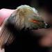 Cinnamon-crested Spadebill Platyrinchus saturatus 1