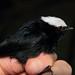 White-crowned Manakin - Pipra pipra
