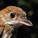 Thrush-like Antpitta head - Myrmothera campanisona