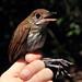 Thrush-like Antpitta - Myrmothera campanisona