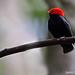 Red_Headed Manakin {Explored}