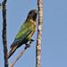 Madeira-Sittich, Rotflügel-Sittich (Pyrrhura picta ssp. snethlage), NGID2081507026