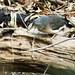 Zickzackreiher, Zebrareiher, Zigzag Heron (Zebrilus undulatus) , NGID486984688