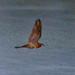 Bindenschwanz-Nachtschwalbe, nachts am Wasser jagend(Nyctiprogne leucopyga), NGID1847184273