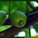 Araçá Pera Psidium acutangulum Myrtaceae Fruta Nativa da Amazônia Floresta Água do Norte Celcoimbra Site Santarém Pará strawberry guava araçazeiro guayaba coronilla arrayan guayabillo DEF Marketing Turismo 9f
