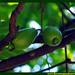 Araçá Pera Psidium acutangulum Myrtaceae Fruta Nativa da Amazônia Floresta Água do Norte Celcoimbra Site Santarém Pará strawberry guava araçazeiro guayaba coronilla arrayan guayabillo DEF Marketing Turismo 9d