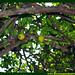 Araçá Pera Psidium acutangulum Myrtaceae Fruta Nativa da Amazônia Floresta Água do Norte Celcoimbra Site Santarém Pará strawberry guava araçazeiro guayaba coronilla arrayan guayabillo DEF Marketing Turismo 8d