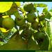 Araçá Psidium Myrtaceae Fruta Nativa da Amazônia Floresta Água do Norte Celcoimbra Site Santarém Pará strawberry guava araçazeiro guayaba ácida guayabillo DEF Marketing Turismo 4