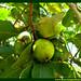Araçá Psidium Myrtaceae Fruta Nativa da Amazônia Floresta Água do Norte Celcoimbra Site Santarém Pará strawberry guava araçazeiro guayaba ácida guayabillo DEF Marketing Turismo 3