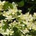 Flores da grumixameira (Eugenia brasiliensis La M.)