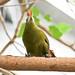 Green Oropendola (Psarocolius viridis)