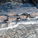 Golondrina Collareja, Black-collared Swallow (Atticora melanoleuca) (Pygochelidon melanoleuca)