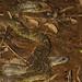 Waglerophis merremii
