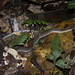 Liophis (Erythrolamprus) typhlus - Blind Ground Snake