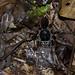 bird-eating spider: Northern Slaty-Antshrike Thamnophilus punctatus killed by tarantula Acanthoscurria simoensi