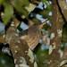 Socoí-zigue-zague (Zebrilus undulatus)