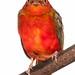 Female Guianan red cotinga